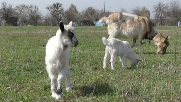 Rodinný kozy na pastvu.