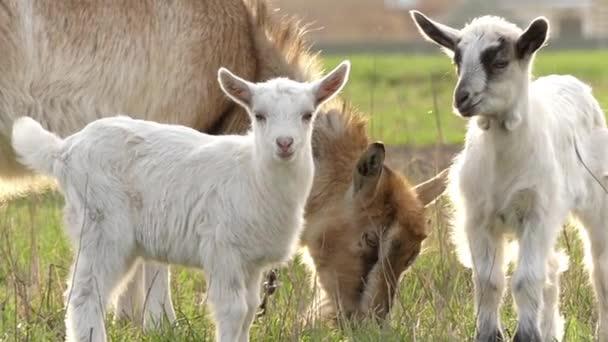 Malý kozy a matka pastva v pomalém pohybu.
