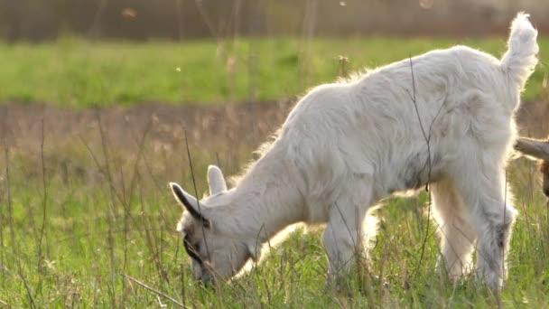 Roztomilé bílé kozy odřeniny v poli. Podsvícení v reálném čase.