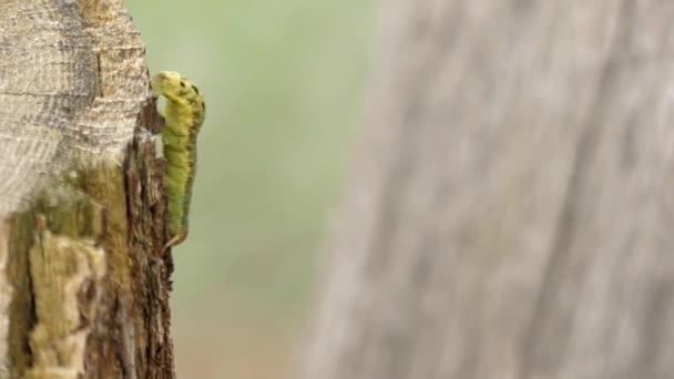 Zelené housenka naskakuje husí kůže zblízka