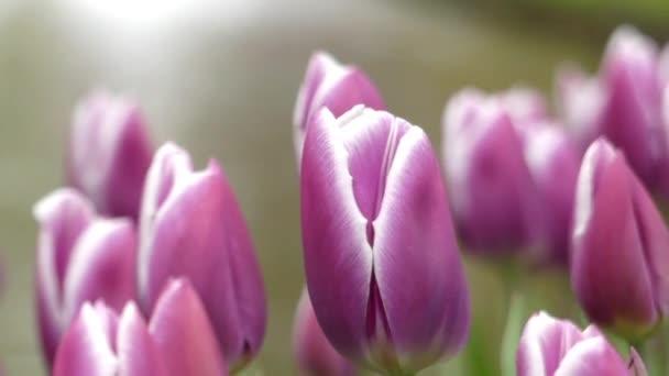 Nádherné fialové tulipány v parku květy