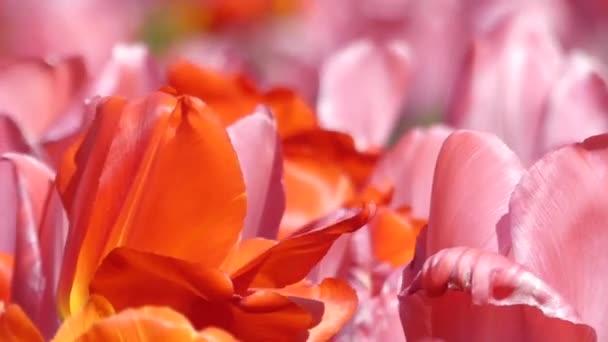 Multi-színes tulipánok, imbolygott a szélben.