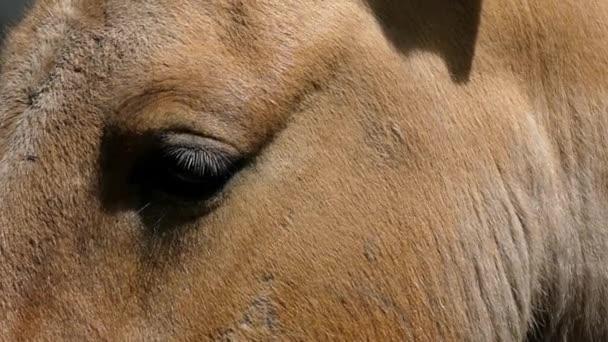 Oči hnědé koně Closeup. Zpomalený pohyb