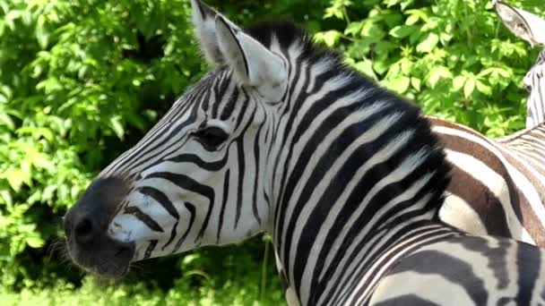a Zebra Head Moves in Slow Motion.