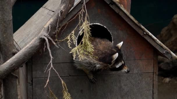 Raccoon Peeking Out From the Wooden House.