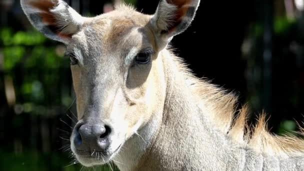 Hlava antilopy hledá v různých směrech. Akce v pomalém pohybu