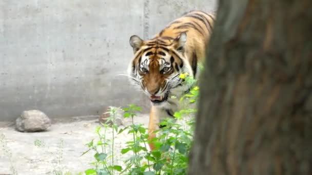 Gyönyörű tigris sétál az erdőben. Lövés közelről.