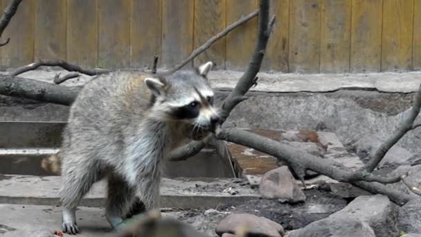 a Family of Raccoons Playing in the Zoo. Frame Taken From Behind the Glass. Slow Motion.