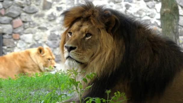 Velký Lev otočí hlavu na kameru v pomalém pohybu.