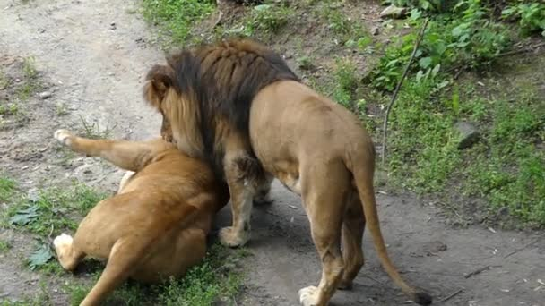 Lion and Lioness Playing Among Themselves Biting Each Other and Hug Legs. Slow Motion.