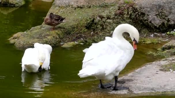 Krásná Bílá labuť v rybníku. Plave a čistí sama