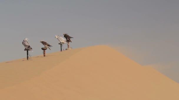 Falchi nel deserto, Dubai