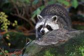 raccoon walking in forest