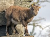 Alpine ibex on stone