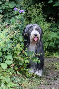 Bearded Collie in park