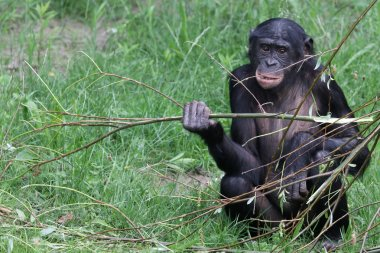 Bonobo youngster sitting on grass