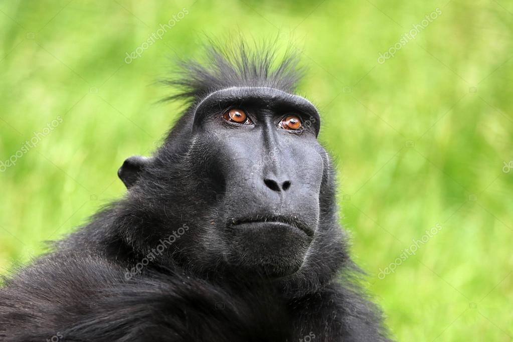 Rare Crested monkey