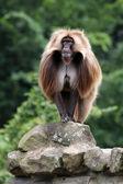 Fotografie Gelada monkey in wildlife reservation
