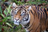 Fotografia bella tigre nella ricreazione della fauna selvatica