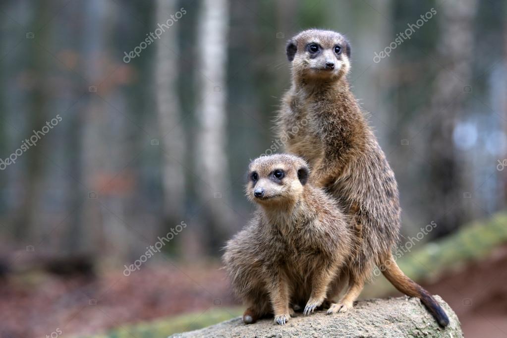meerkats in wildlife reservation
