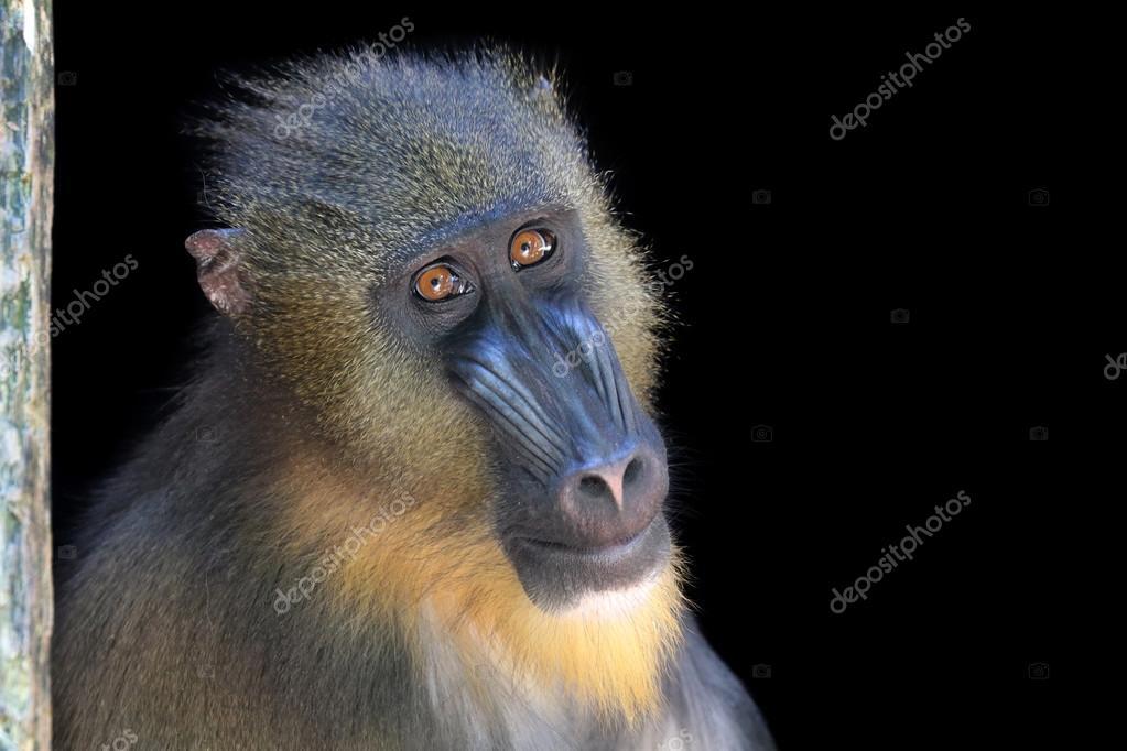 Adult Monkey Mandrill
