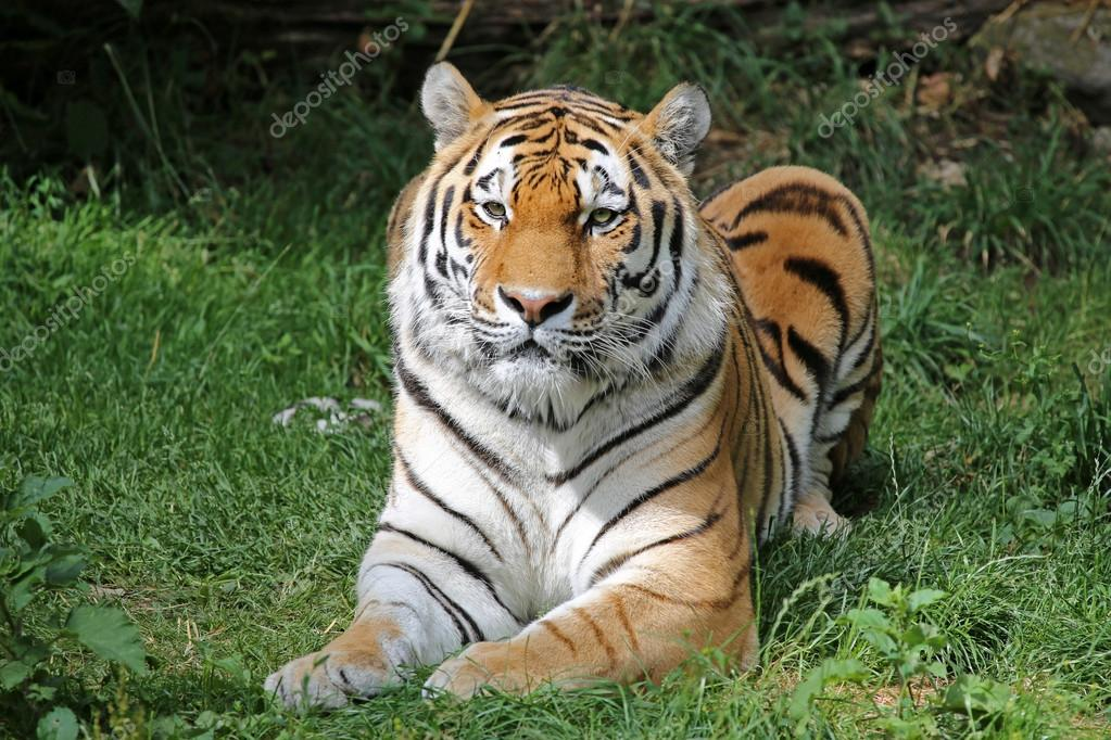beautiful amur tiger