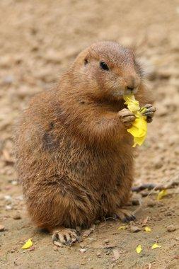 Prairiedog eating flower