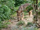 Fiatal farkas jellegében