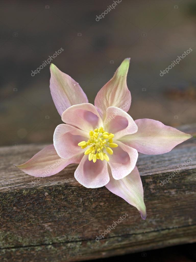 Pink Columbine Flower Stock Photo Ebfoto 62206641