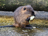 Photo Coypu eating cabbage