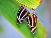 Fotografie Mating butterflies on leaves