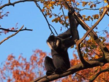 Gibbon male against blue sky