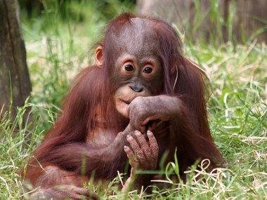 Orangutan baby sitting in grass