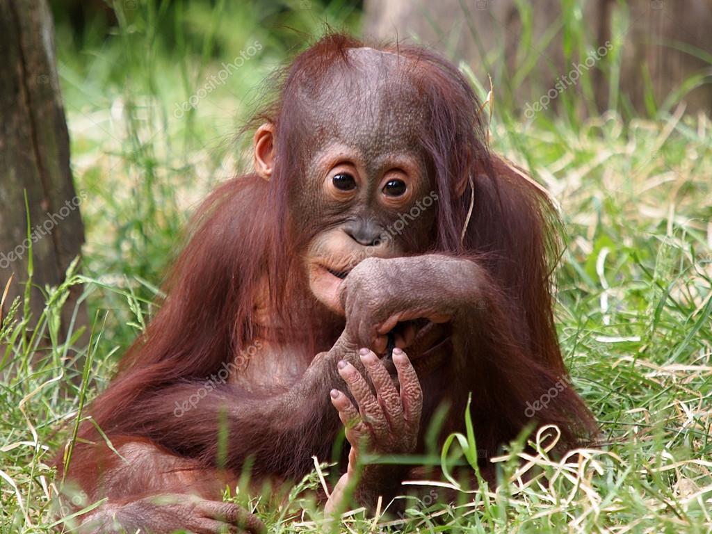 Gut bekannt orang-outan assis dans l'herbe — Photo #62384545 KI55