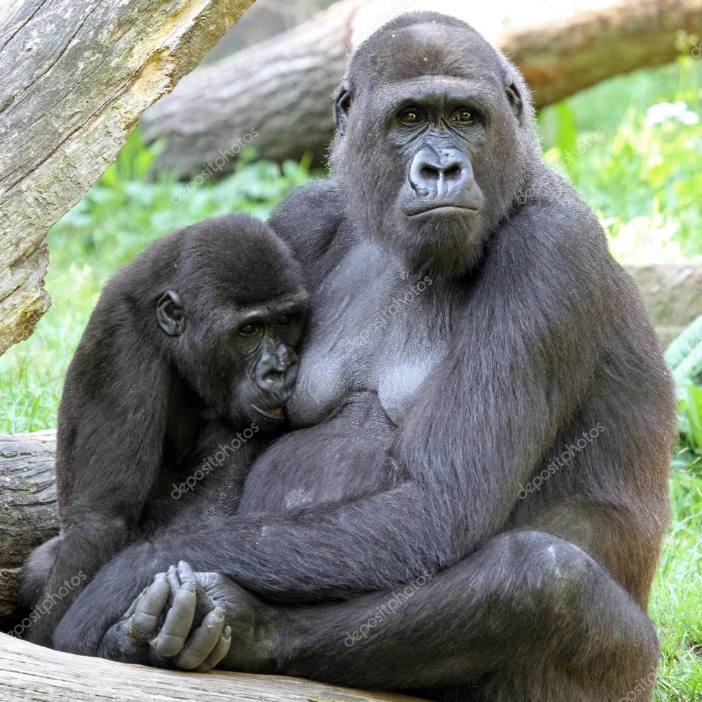 Resultado de imagem para mãe gorila