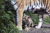 Fotografie Tiger cub below mother