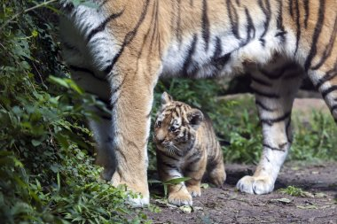 Tiger cub below mother