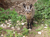 Photo Bat eared fox