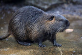 Photo Beaver rat on stone
