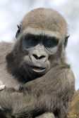 Close up of Gorilla youngster