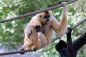 Two Gibbons on rope