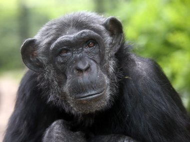 Chimpanzee portrait close up