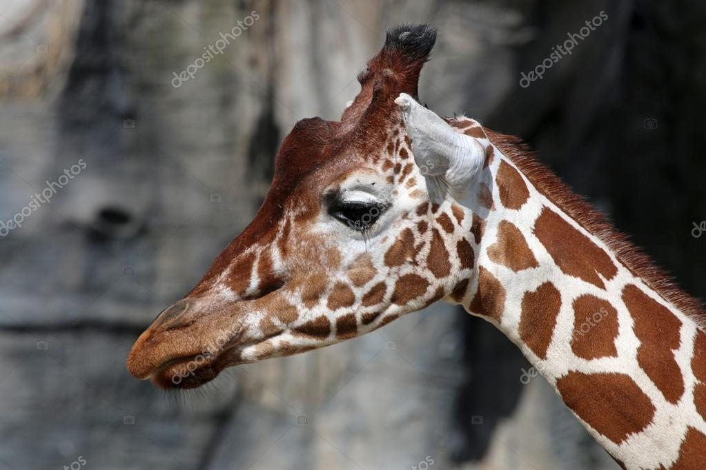 head of cute Giraffe