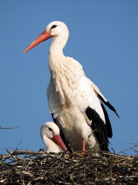 Stork and blue sky
