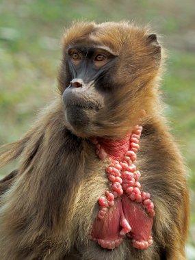 Baboon monkey portrait