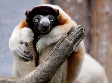 Crowned sifaka on tree