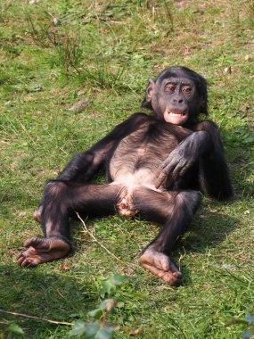 Bonobo monkey lying on grass