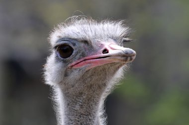 Head of ostrich bird