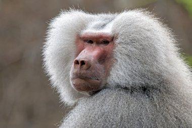 grey baboon monkey