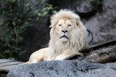 Fotografie Bílý Lev ležící